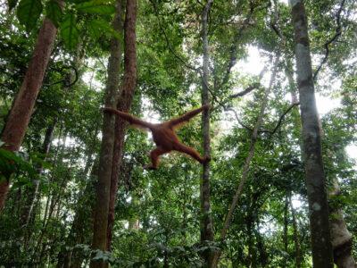 orangutan_trekking_sumatra_13